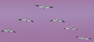 Fugle i formation