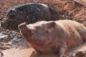 PigsMud-